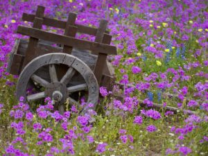 darrell-gulin-wooden-cart-in-field-of-phlox-blue-bonnets-and-oak-trees-near-devine-texas-usa