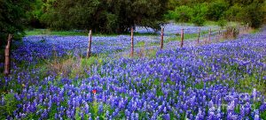 hill-country-heaven-texas-bluebonnets-wildflowers-landscape-fence-flowers-jon-holiday
