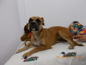 Female Boxer approximately 2 years old